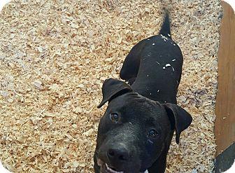 American Pit Bull Terrier Mix Dog for adoption in Livingston Parish, Louisiana - Boomer