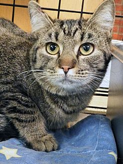 Domestic Shorthair Cat for adoption in Toledo, Ohio - BOO