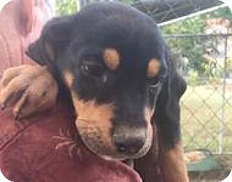 Rottweiler Mix Puppy for adoption in Patterson, New York - Floyd