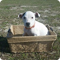 Adopt A Pet :: Daffodil - Ocala, FL