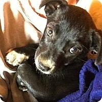 Adopt A Pet :: Beau - Westwood, NJ