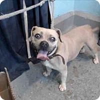 Adopt A Pet :: Dixie - Encino, CA