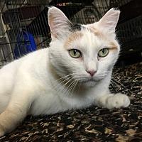 Adopt A Pet :: Snowflake - Colmar, PA