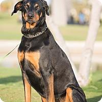 Adopt A Pet :: Joi - Phoenix, AZ