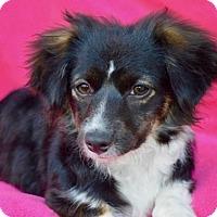 Adopt A Pet :: Meesha - Irvine, CA