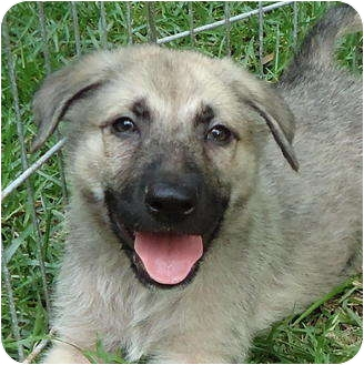 German Shepherd Dog Mix Puppy for adoption in Pike Road, Alabama - Mojo
