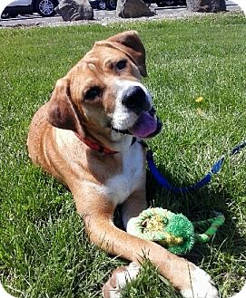 Hound (Unknown Type)/Beagle Mix Dog for adoption in Bardonia, New York - Ted