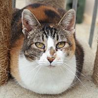Calico Cat for adoption in San Pablo, California - FARRAH