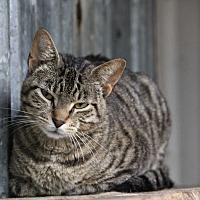 Adopt A Pet :: Joelle - Centerton, AR