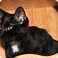 Domestic Shorthair Cat for adoption in Morganton, North Carolina - Serena