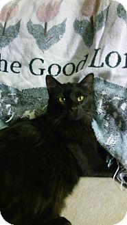 Domestic Mediumhair Cat for adoption in Centerton, Arkansas - Elvira