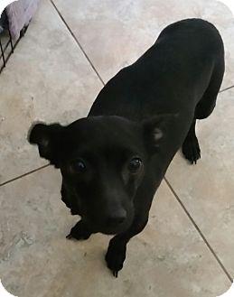 Dachshund/Chihuahua Mix Dog for adoption in temecula, California - Shadow