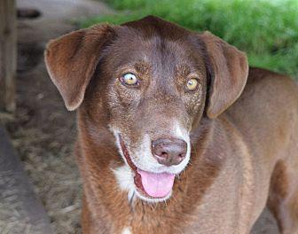 Labrador Retriever/Pointer Mix Dog for adoption in Iola, Texas - Tess