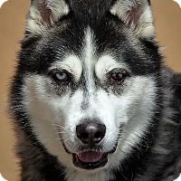 Siberian Husky Dog for adoption in Westminster, California - Midnight