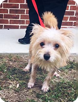 Terrier (Unknown Type, Small) Mix Puppy for adoption in Redmond, Washington - Patsy Cline