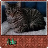 Adopt A Pet :: Acho - Cedar Springs, MI