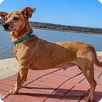 Dachshund/Chihuahua Mix Dog for adoption in Leonardtown, Maryland - Scrappy