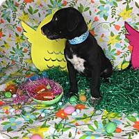 Adopt A Pet :: Oreo - Orange County, CA