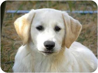 Golden retriever adoption ri