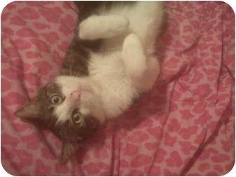Domestic Shorthair Cat for adoption in Lake Charles, Louisiana - Birdie