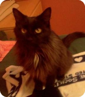Domestic Longhair Cat for adoption in St. Louis, Missouri - India