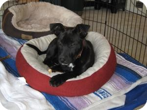Labrador Retriever/Shepherd (Unknown Type) Mix Puppy for adoption in Marlton, New Jersey - Baby Candy