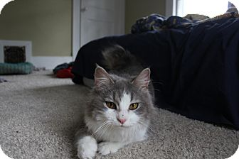 Domestic Longhair Cat for adoption in Grand Rapids, Michigan - Cassie