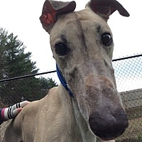 Greyhound Dog for adoption in Swanzey, New Hampshire - Cooper