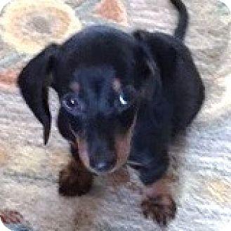 Dachshund Puppy for adoption in Houston, Texas - Remy Recruit
