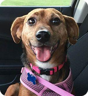 Terrier (Unknown Type, Small) Mix Dog for adoption in Minneapolis, Minnesota - Adira