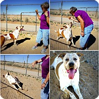 Mastiff/Australian Cattle Dog Mix Dog for adoption in Casa Grande, Arizona - Ben's Spirit