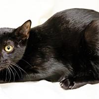 Adopt A Pet :: Cougar - oakland park, FL