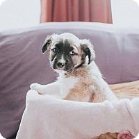 Adopt A Pet :: Carrigan - Boston, MA