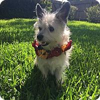 Terrier (Unknown Type, Small) Mix Dog for adoption in San Antonio, Texas - Zuzu
