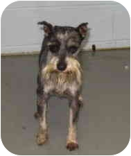 Schnauzer (Miniature) Dog for adoption in Stillwater, Oklahoma - Izod