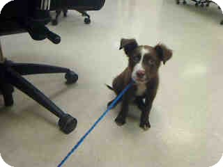 Australian Shepherd Mix Puppy for adoption in Antioch, Illinois - Pierre