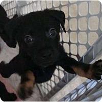 Adopt A Pet :: Shock Tart - willie wonka - Phoenix, AZ