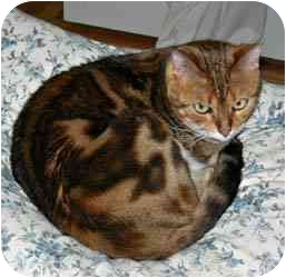 Bengal Cat for adoption in Redwood City, California - Sheba And Tigger