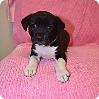 Adopt A Pet :: Carley Simon - New Milford, CT