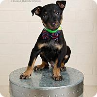 Adopt A Pet :: Flint - Denver, CO