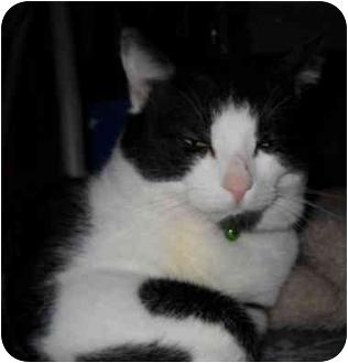 Domestic Shorthair Cat for adoption in Boston, Massachusetts - Milo