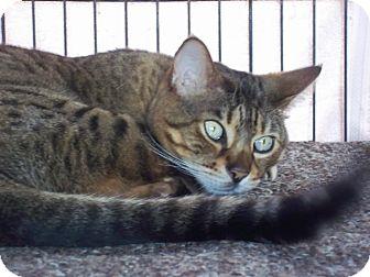 Bengal Cat for adoption in Lantana, Florida - Nassau