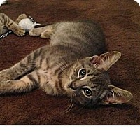 Domestic Shorthair Cat for adoption in South Plainfield, New Jersey - Chance