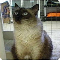 Siamese Cat for adoption in House Springs, Missouri - Nikki
