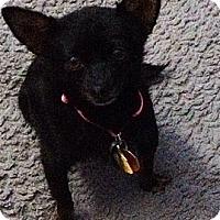 Adopt A Pet :: Little Sugar - Shawnee Mission, KS