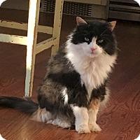 Calico Cat for adoption in Oakland Gardens, New York - LEXI