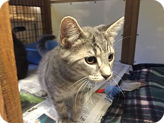 Domestic Shorthair Cat for adoption in Beacon, New York - Orchid