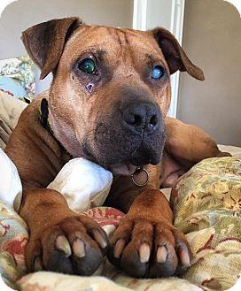 Terrier (Unknown Type, Medium)/Bulldog Mix Dog for adoption in Bruce Township, Michigan - Bartimaeus
