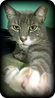 Domestic Shorthair Cat for adoption in Montclair, New Jersey - Jammer