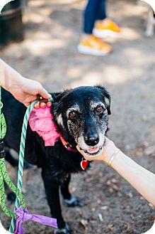 Labrador Retriever Mix Dog for adoption in Los Angeles, California - Amma